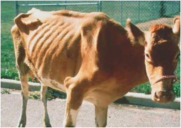 Опасен ли туберкулез у коров для человека?