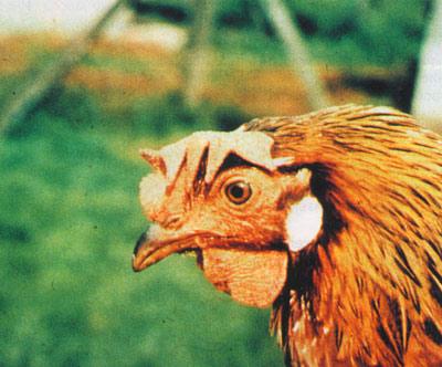 Опасен ли туберкулез птиц для человека?
