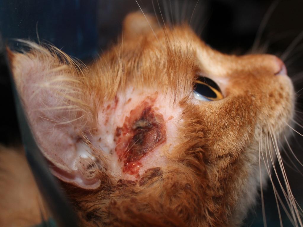 Бывает ли туберкулез у кошек и как он передается человеку?